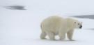 polar_bear_20
