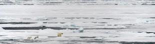 polar_bear_53